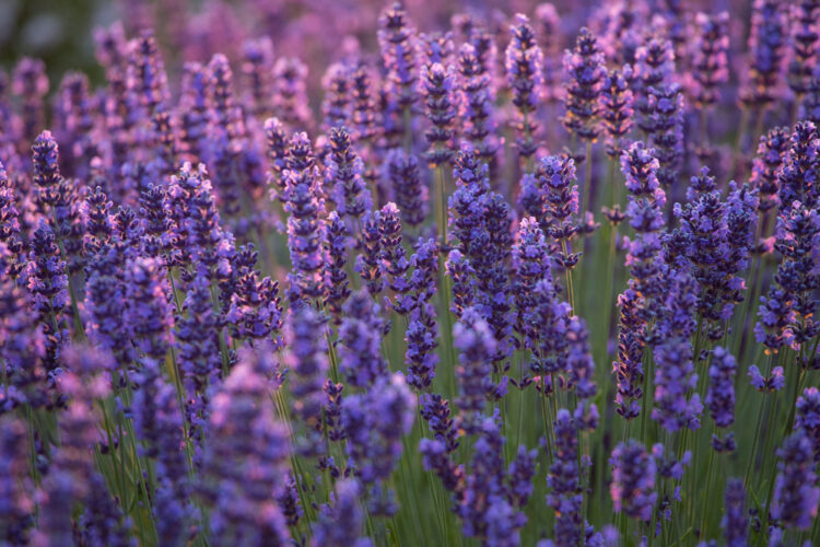 Close up of the lavender flowers blooming in briliant purple tones in the afternoon light.