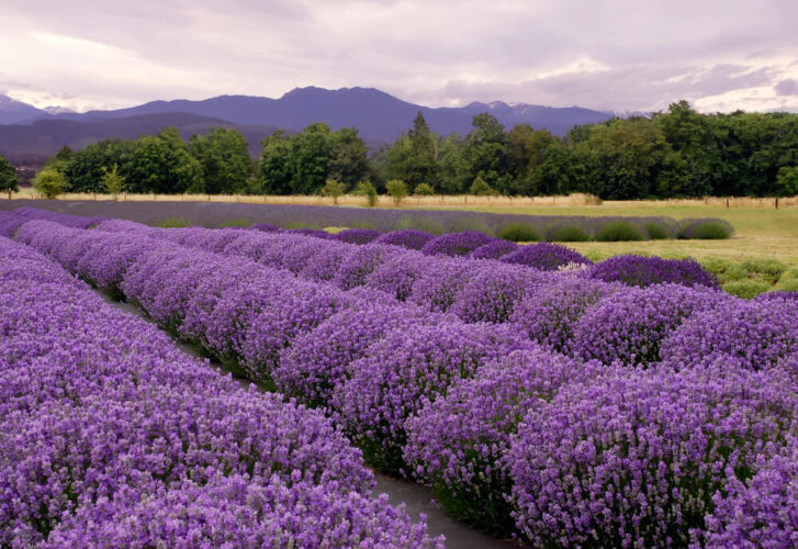 Four rows of lush plants in a Washington lavender field, against a backdrop of other trees and mountains, seen at sunset with a purplish sky.