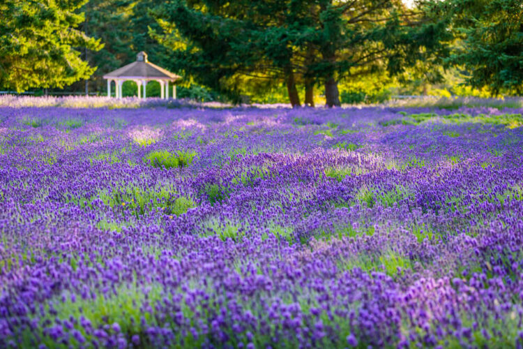 Lots of lavender bushes with a small gazebo in the background surrounded by trees and other greenery.