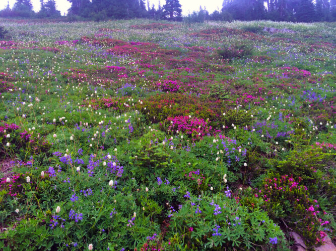 White, purple, and pink wildflowers in a meadow at Mt Dickerman, a popular wildflower hike in Washington