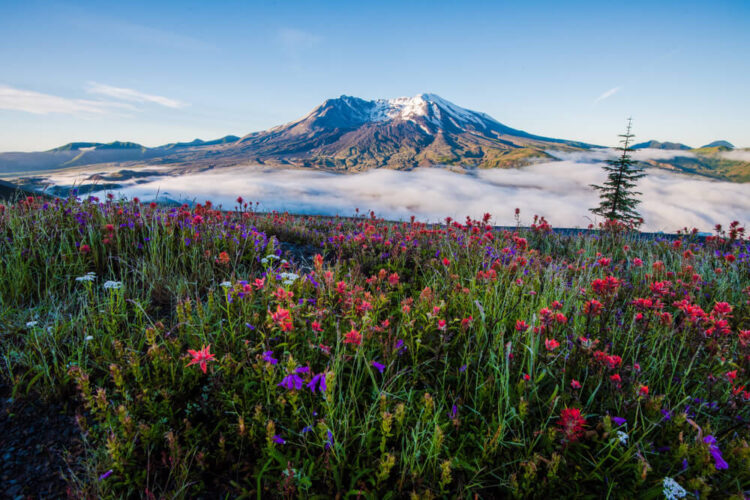 view of mt st helens with wildflowers in the foreground, one of the best day trips from seattle