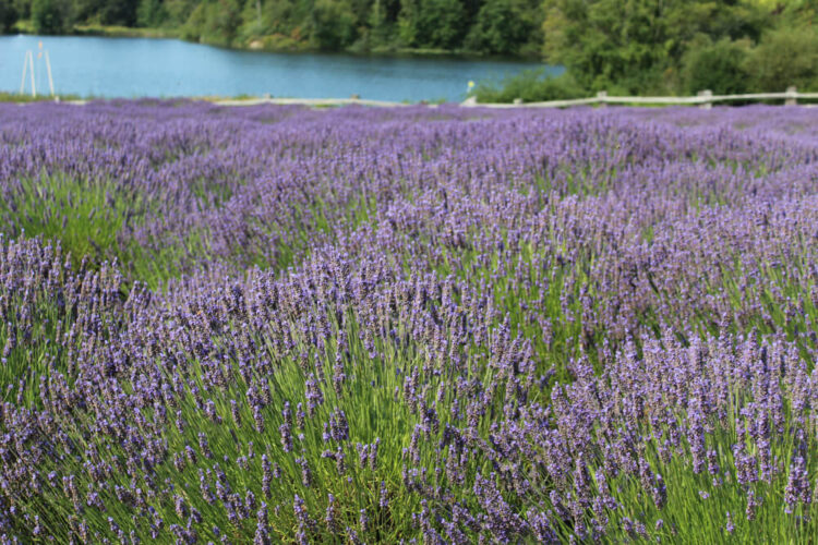A view of lavender bushes with a backdrop of the Salish Sea, a beautiful Washington lavender farm on the San Juan islands
