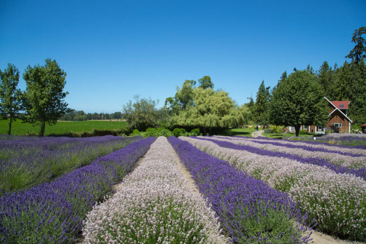 Rows of alternately light purple and dark purple lavender in Washington with a brown house in the background on a sunny day.
