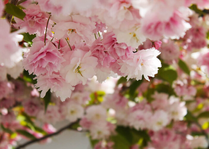 Up close photo of the delicate ruffles of light pink cherry blossom in Seattle.