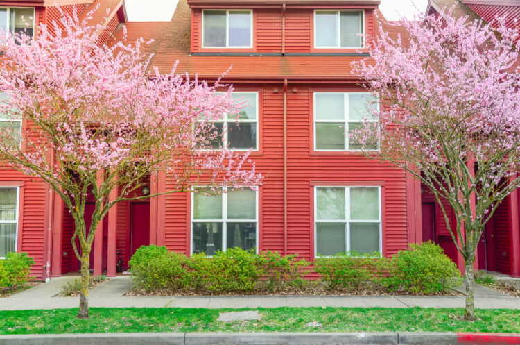 Two cherry blossom trees with a red Seattle townhouse in a local neighborhood