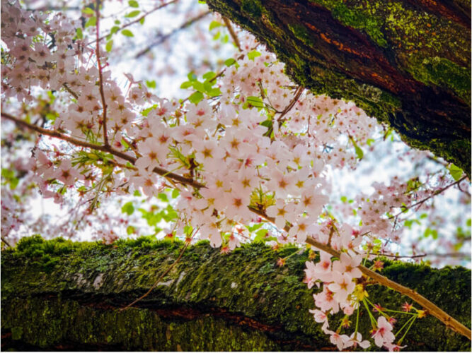Photo of the spring Seattle cherry blossoms against the rough bark of a cherry tree covered in a light green moss.