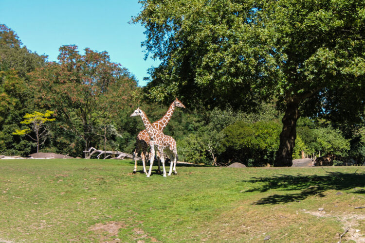 Two giraffes crossing paths in a large enclosure surrounded by trees at the Woodland Park Zoo in Seattle