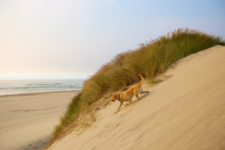 yellow lab on sand dunes along a coastal oregon road trip itinerary