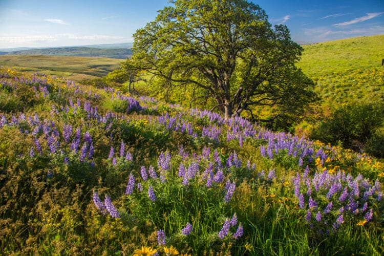purple lupines blooming near the dalles