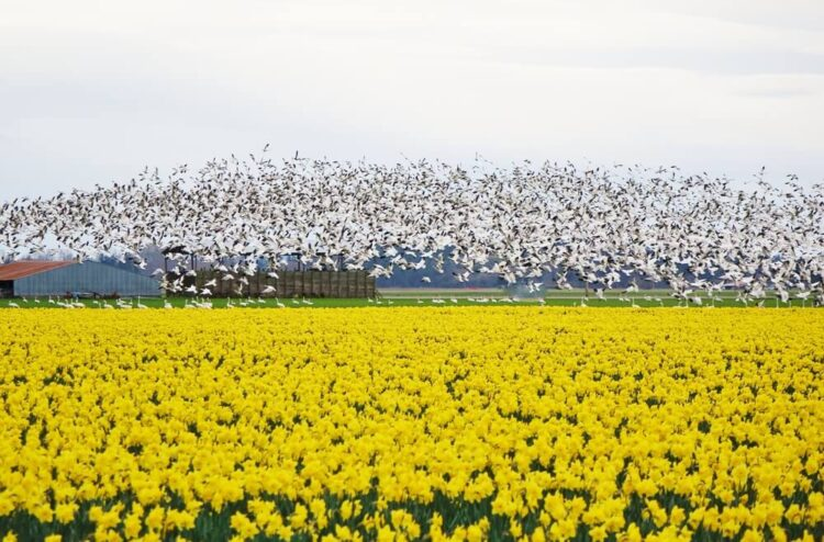 A flock of hundreds of white snow geese contrasting with a field of yellow daffodils and green grass.