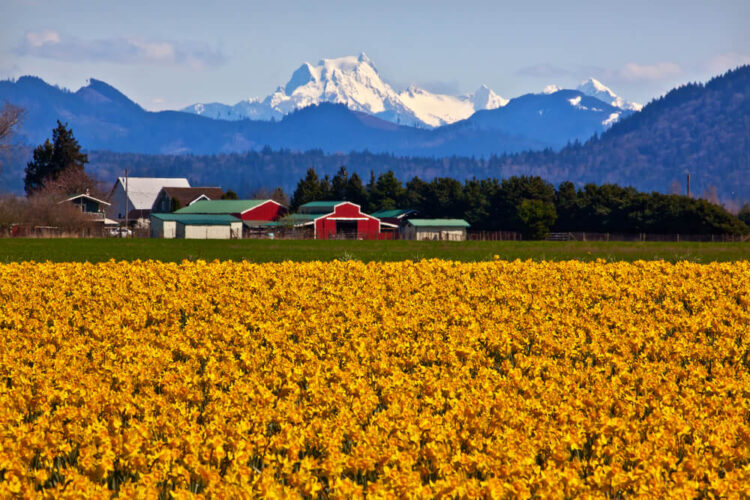 A brilliant orange-yellow field of daffodils in front of a bright red and green farm house with Mt Shuksan covered in snow in the background in spring.