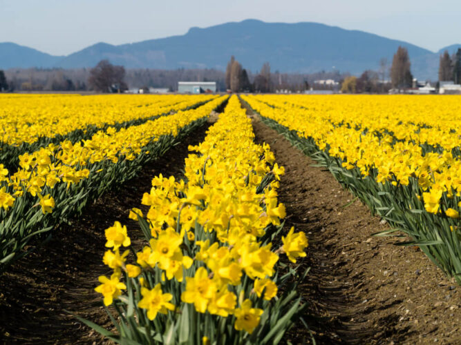 Rows of brilliant yellow daffodils at a Skagit Valley daffodil farm with a mountain the background