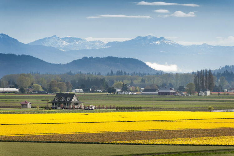 Fields full of brilliant yellow daffodils in Skagit Valley, with a farm house in front of several snow-covered mountains.
