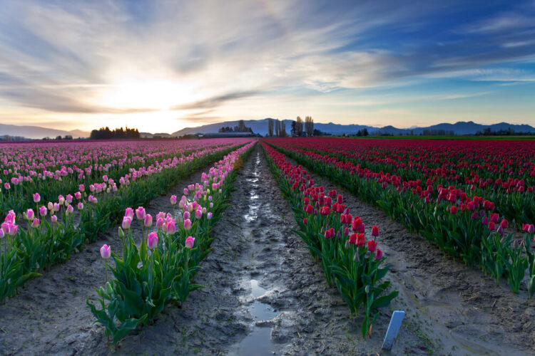 Tulip fields in Washington's Skagit Valley with muddy dirt between each row of pink and red tulips, seen at sunset.