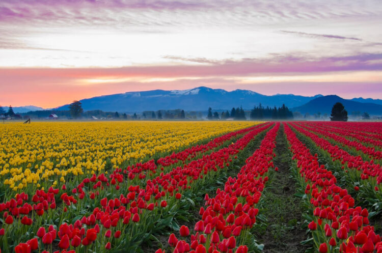 A field of yellow and red rows of tulips at the Skagit Valley Tulip Festival in April, with sunset colors in the distance and mountains.