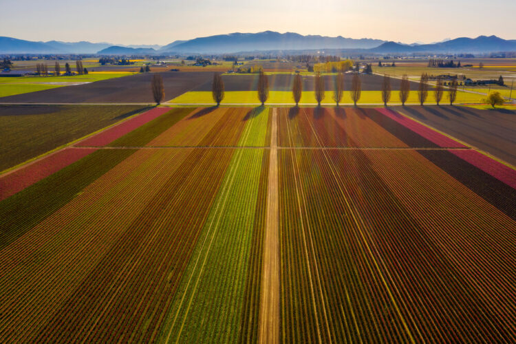 Aerial photo of the rows of Skagit Valley tulip fields in the late afternoon sunlight with green, red, and brownish stripes.
