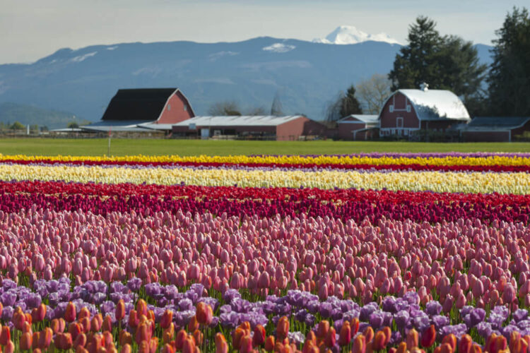 Field of purple, pink, red, white, and yellow tulips in front of a green grass field and reddish barns with mountains in the distance.