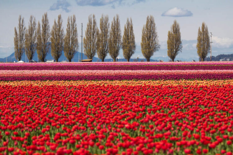 A giant field of tulip flowers. Most of the flowers are red tulips in front, then smaller stripes of orange, burgundy, and light pink tulips are behind it. There are some leafless trees in the distance behind the tulip field in the Skagit Valley.