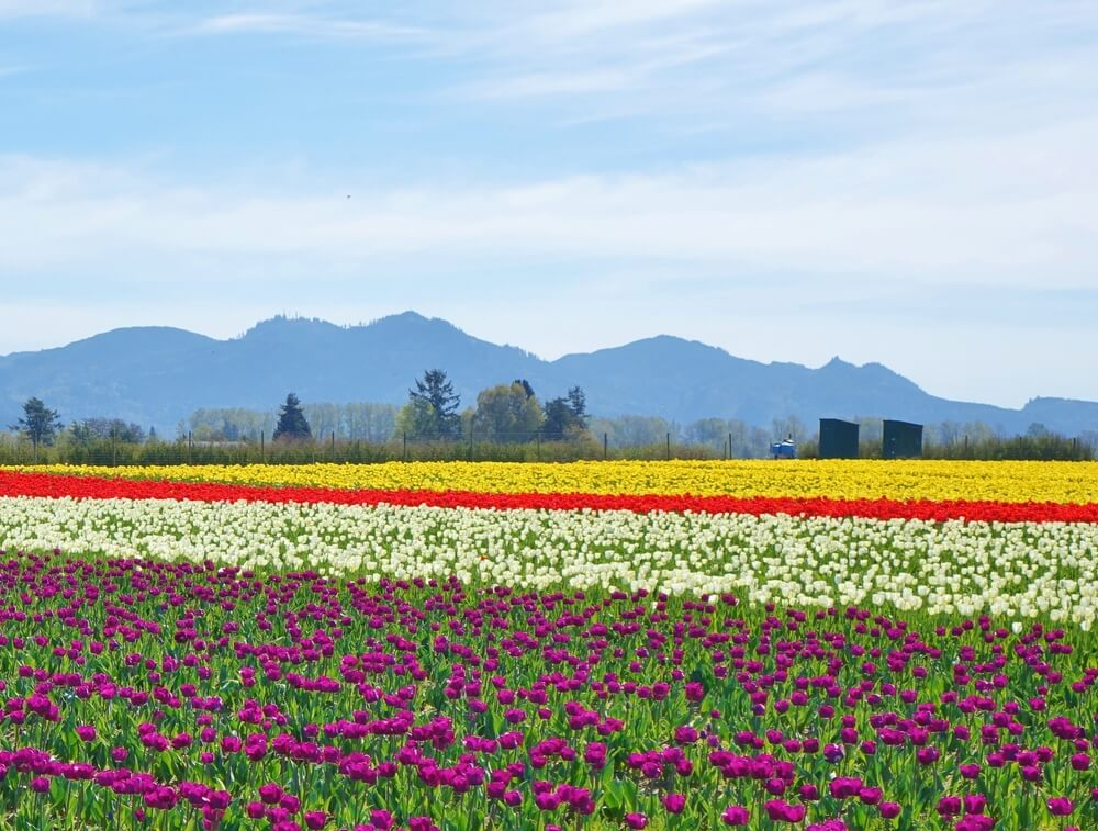 Rows of colorful tulips in the Skagit Valley of Washington. Purple tulips in front, then a row of white tulips, then a small stripe of red tulips, then more yellow tulips in the far back field, and finally mountains in the distance.