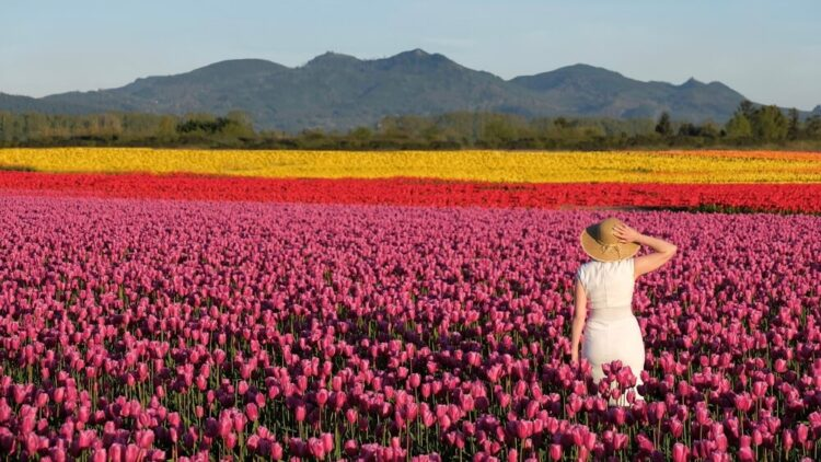 Woman in white dress and sunhat in the tulip fields near La Conner and Mount Vernon. Pink, red, and yellow patches of tulips.
