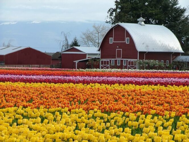 Field of brilliant yellow, orange, red, purple tulips with a red barn in the background at the Skagit Valley Tulip Festival near La Conner, WA