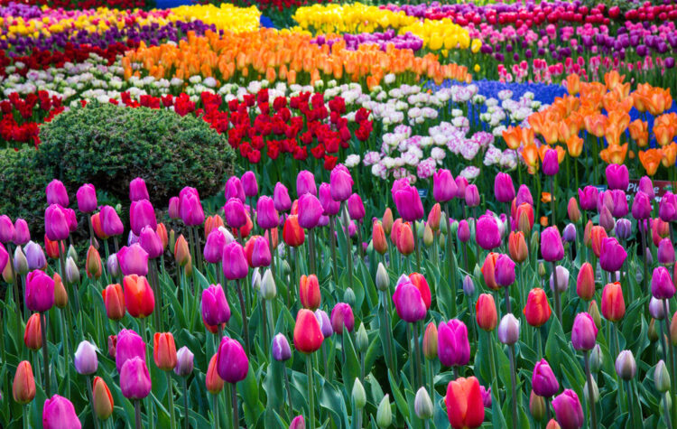 Scattered clusters of different colored tulips, ranging from yellow, fuschia, red, pink, orange, and deep purple, in a tulip field in the Skagit valley of Washington.