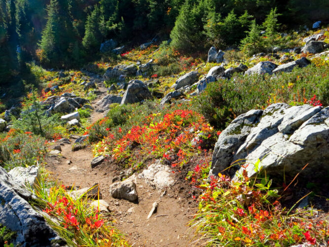 Red wildflowers on a rocky, trodden path amidst a forest hiking in the North Cascades