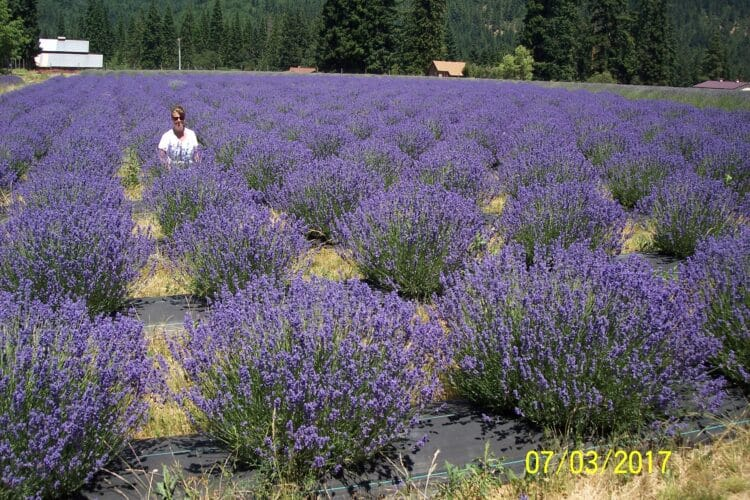 Author of article Laura Gray sitting in a lavender field in Oregon's Lavender Valley