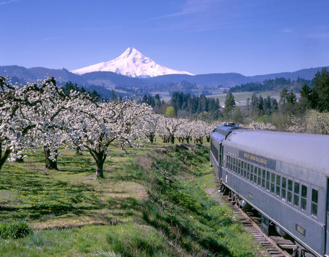 Vintage train going through the landscape of Oregon, white blossoms on the apple trees with a snow-covered peak of Mt Hood in the distance.
