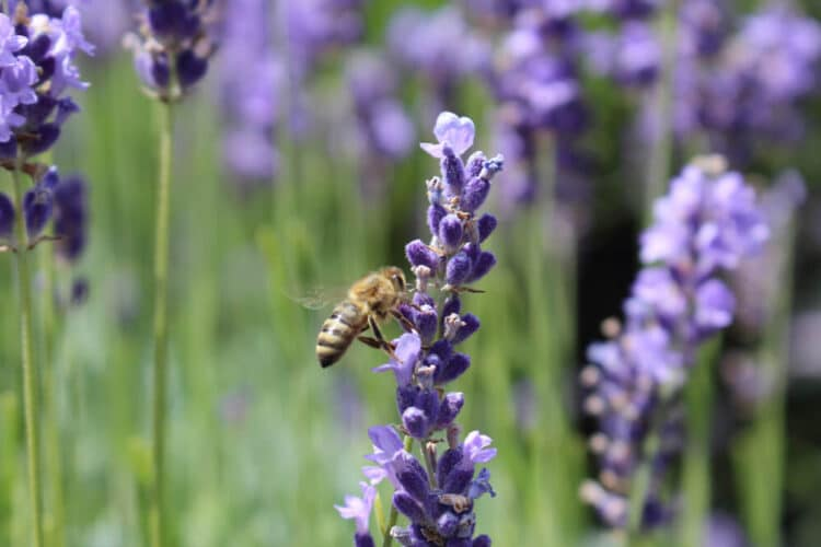 Honeybee landing on a purple lavender bloom close up, pollinating it.