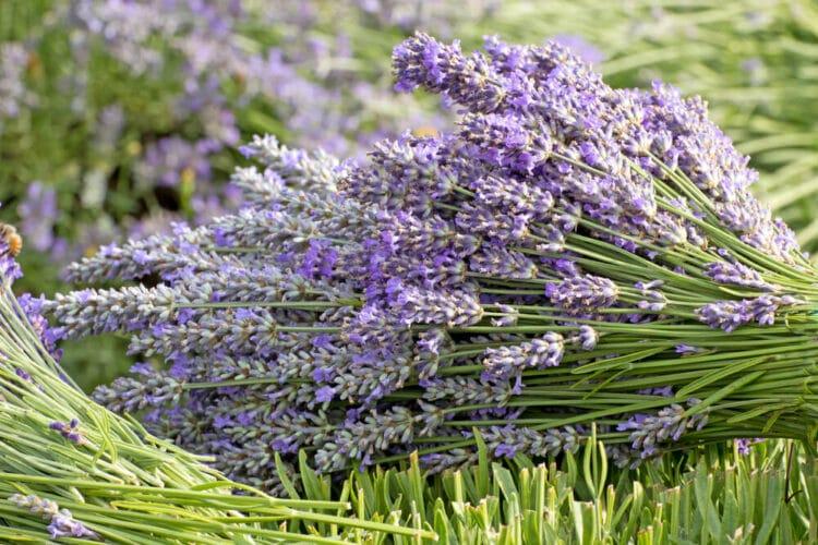 Cut bunch of purple lavender in a field