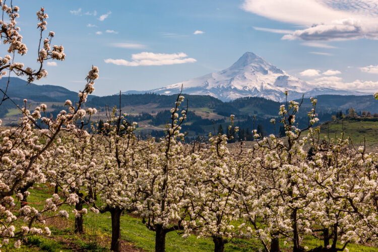 Blossoms in the farms on the Fruit Loop outside Hood River Oregon with Mount Hood in the background