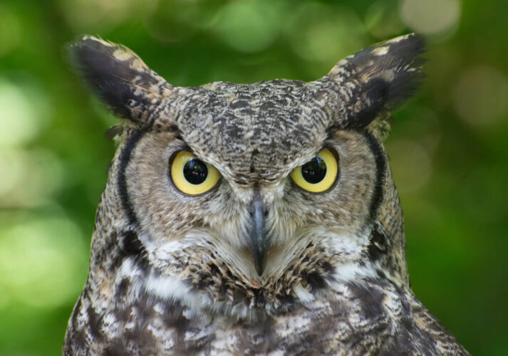 Straight on view of a yellow-eyed great horned owl with what look like ears made out of feathers with a green blurry background