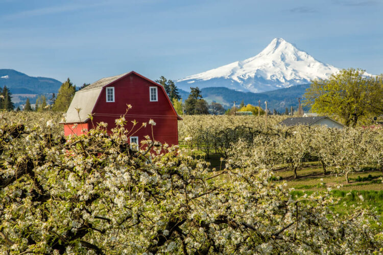 Red barn surrounded by white apple blossoms and mountain covered in snow, Mt Hood, in the distant background