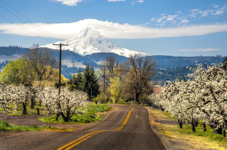 Road near Hood River surrounded by blossoms