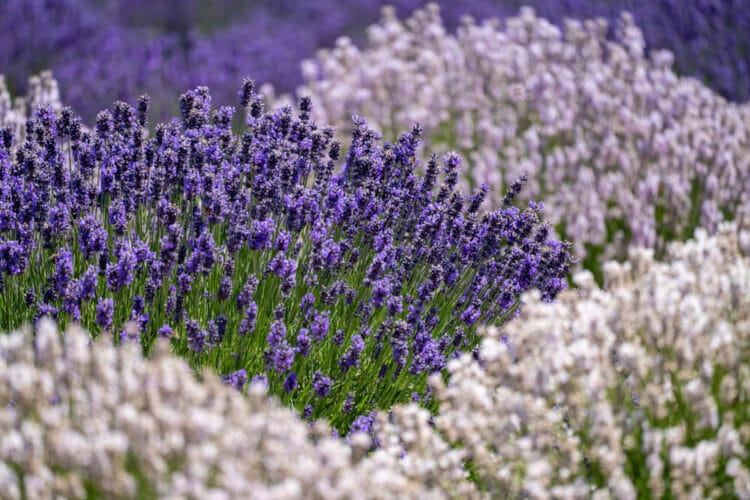 Contrasting bunches of deep purple lavender and light purple lavender close up in an Oregon lavender field