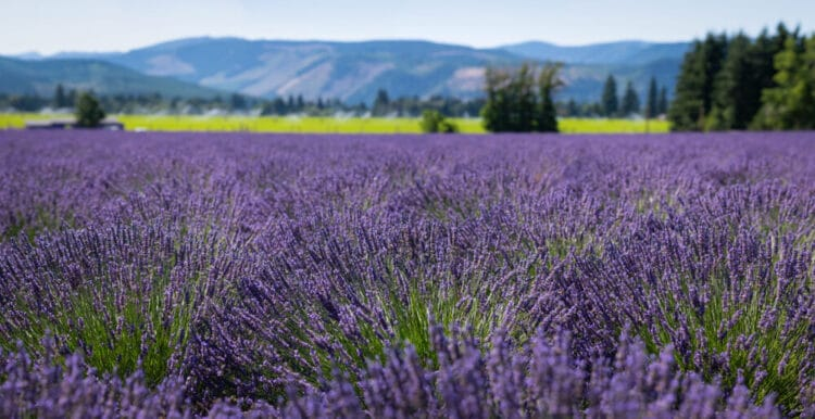 Lavender field in Oregon with small foothills in the background in soft focus