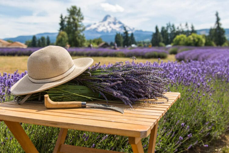 Sunhat, lavender cutter, and a large bunch of lavender in the lavender fields of Mt Hood with the mountain the background