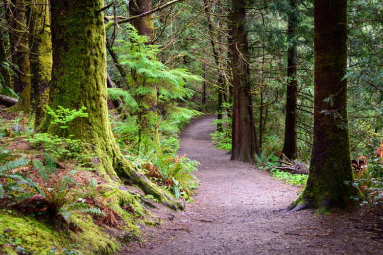 Trail through Forest at Lewis and Clark National and State Historical Parks. Reddish trail leading through old growth forest.