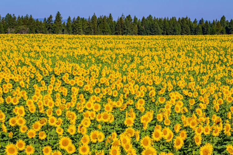 Field full of blooming yellow sunflowers with evergreen trees at the horizon and mountains in the dsitnace.