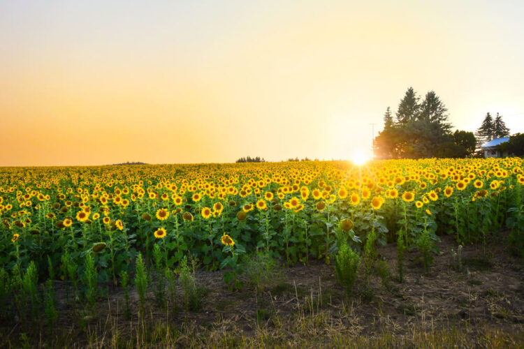 A sunflower field at sunset, with the sunflowers facing against the sun burst on the horizon, a barn in the distance.