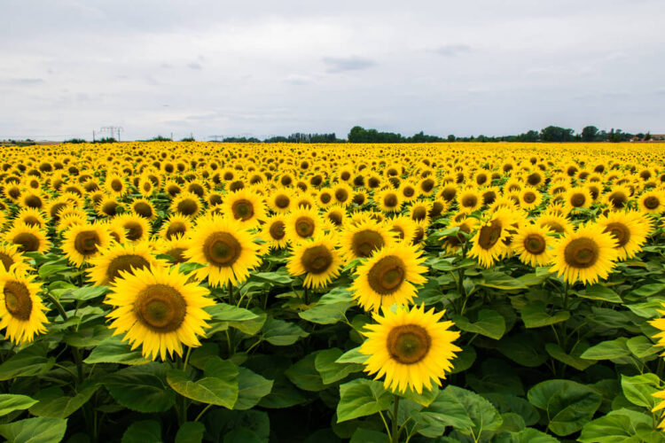 Perfectly bloomed sunflowers with green leaves and a gray sky