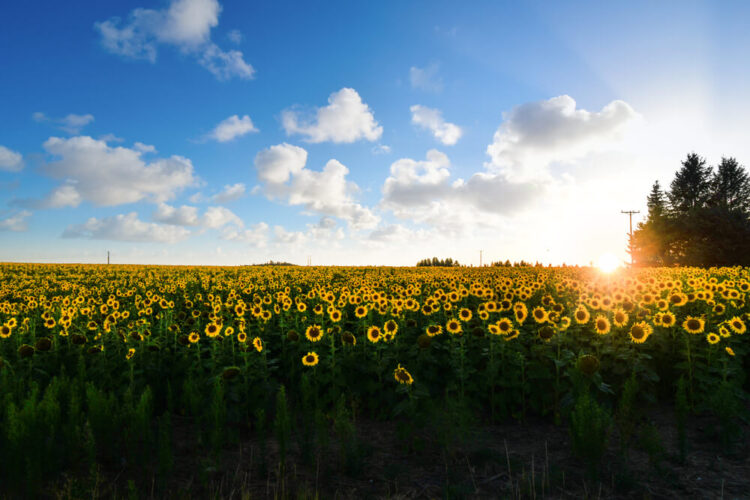A field full of sunflowers near Spokane Washington with a sunburst at the horizon as the sun sets