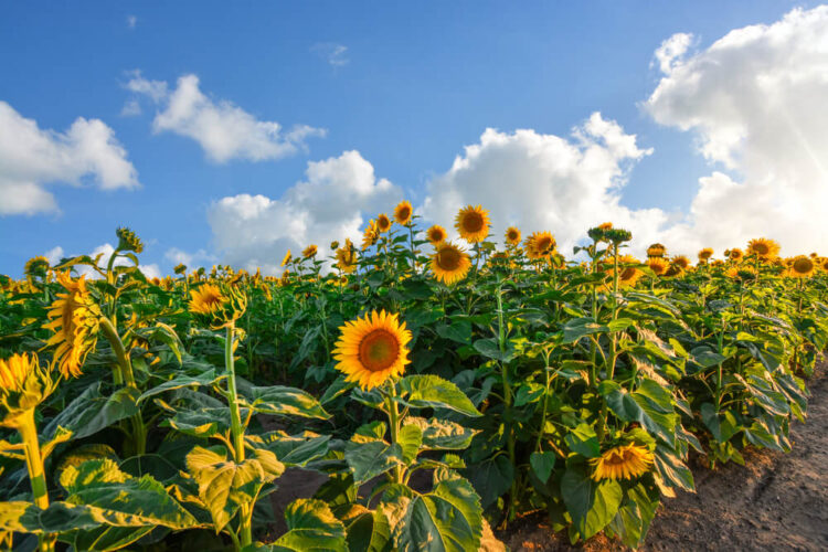 Sunflowers reaching towards the sky, with a partly cloudy sky with a sunburst in the distance.