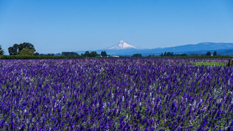 Field of purple lavender in Willamette Valley Oregon with snow-capped mountain off in the distance.