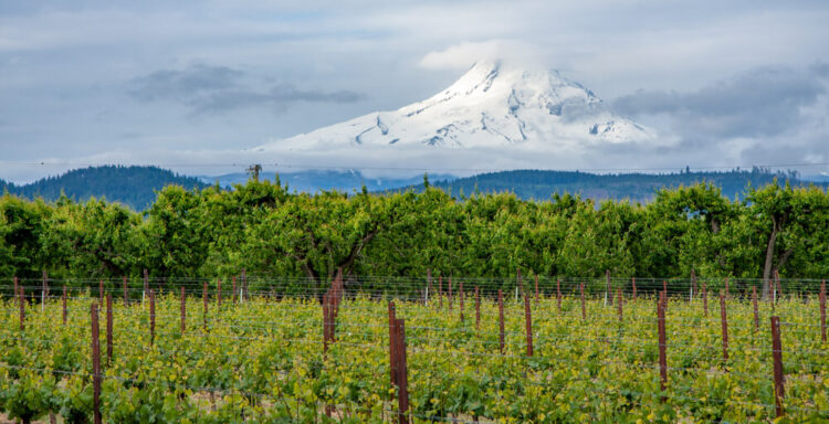 Vineyards with trees in the background with Mt Hood in the background.
