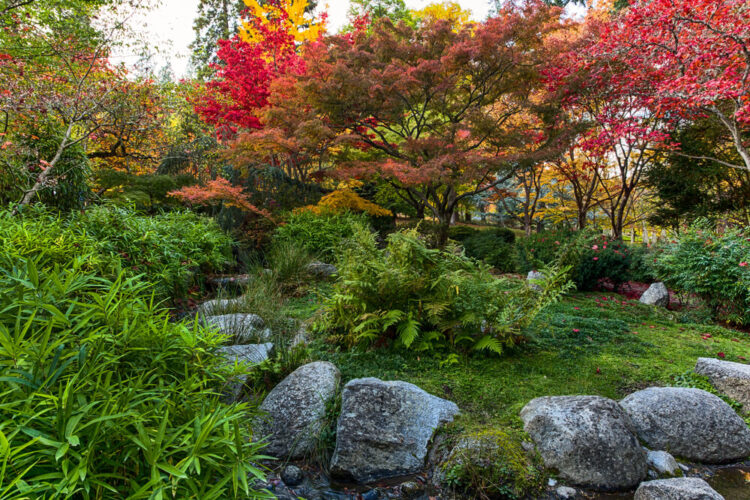 japanese styled garden in the fall with green foliage and red trees like japanese maple
