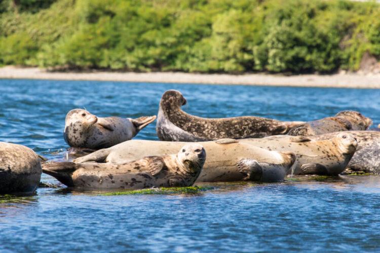 otters in poulsbo