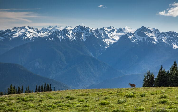 deer on hurricane ridge with mountains in the background in one of the best washington national parks