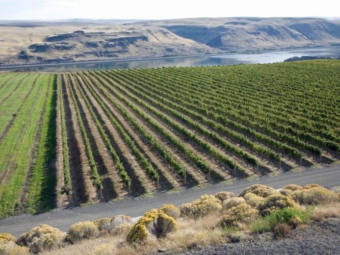 vineyards in the columbia river gorge against the river backdrop with washington on the other side over the river